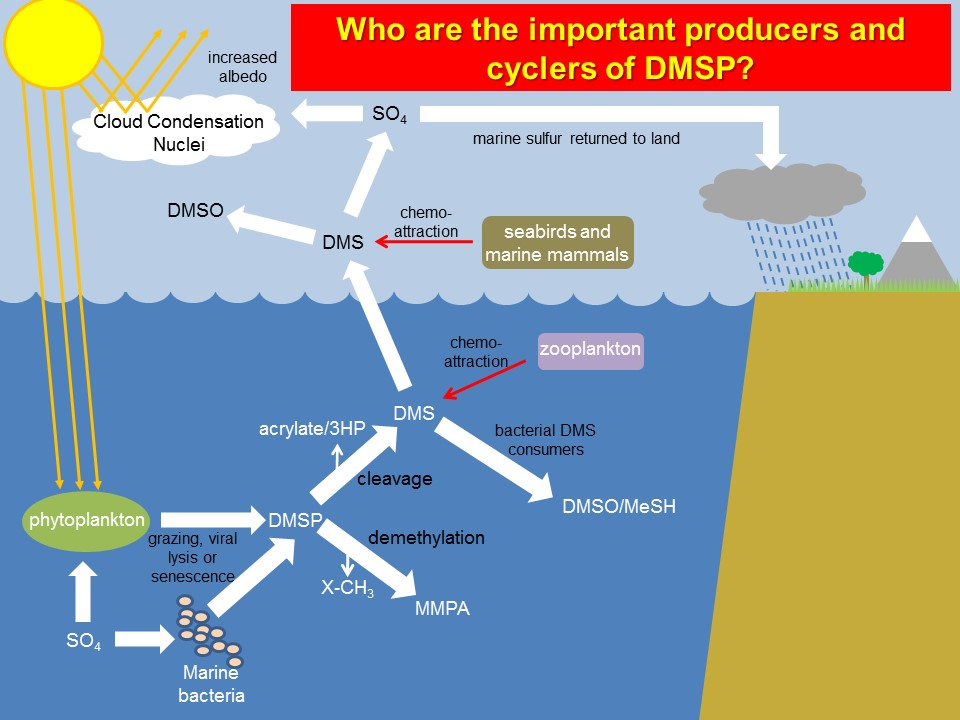 Graphic: Who are the important producers and cyclers of DMSP?
